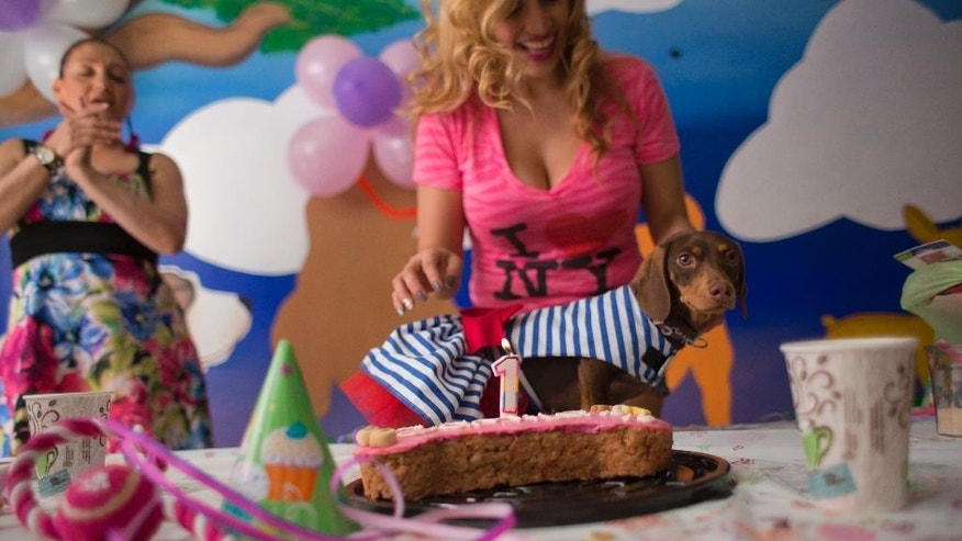 In this Sunday, April 6, 2014 photo, Valery Palma prepares to blow out the candle on a birthday cake for her one-year-old dachshund Camila, at Camila's birthday party in Mexico City. Palma, who has two dogs, spent $300 on the birthday party for 11 canines and 16 people, complete with cake, presents and snacks, at a dog hotel featuring a gym and massage and aromatherapy services. (AP Photo/Rebecca Blackwell)