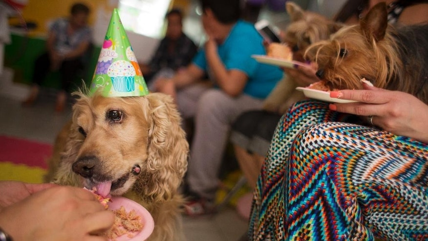 In this Sunday, April 6, 2014 photo, 12-year-old Honey, left, and other guests eat dog friendly birthday cake at a party for one-year-old dachshund Camila in Mexico City, Mexico. Camila celebrated her first birthday in a blue and white striped dress with tulle appliques, playing with her guests in a room decorated with pink balloons, lilacs, and hello kitty posters.(AP Photo/Rebecca Blackwell)