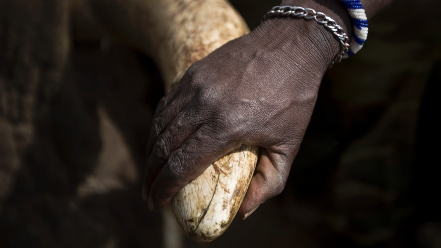 Dec. 3, 2013: In this file photo, a local Maasai tribesman places his hand on the tusk of a tranquilized wild elephant during an elephant-collaring operation near Kajiado, in southern Kenya.