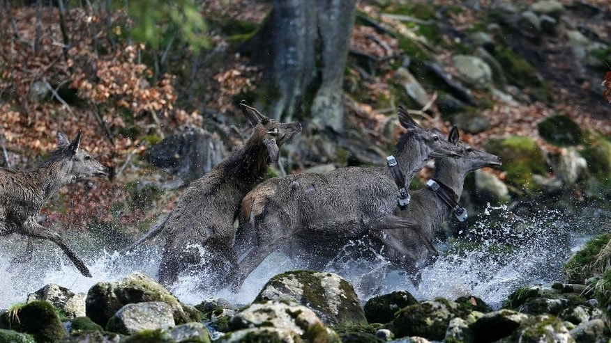 In this picture taken near the town of Harrachov, Czech Republic, on Tuesday, April 8, 2014 deer cross a creek in a winter enclosure. The Iron Curtain was traced by a real electrified barbed-wire fence that isolated the communist world from the West.  It was an impenetrable Cold War barrier _ and for some inhabitants of the Czech Republic it still is.  Deer still balk at crossing the border with Germany even though the physical fence came down a quarter century ago, with the painful Cold War past apparently still governing their behavior, new studies show.  (AP Photo/Petr David Josek)
