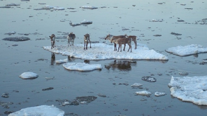 May 3: Caribou hitch a ride on an ice chunk in the Yukon River near Circle, Alaska.
