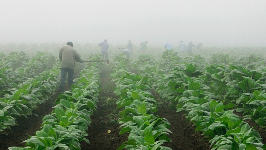 Farm workers make their way across a field shrouded in fog as they hoe weeds from a tobacco crop near Warsaw, Ky.,
