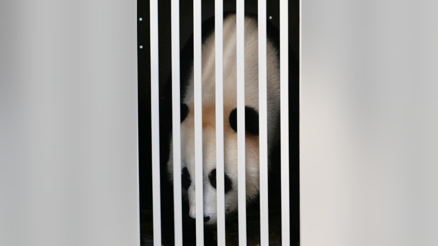 Feng Yi, one of two giant pandas from China, sits in a cage on its arrival at cargo terminal of Kuala Lumpur International Airport in Sepang, Malaysia, Wednesday, May 21, 2014. The pandas, named Fu Wa and Feng Yi, arrived in Malaysia to mark 40 years of diplomatic ties between the two countries. The pandas will be on loan to Malaysia for ten years.  (AP Photo/Vincent Thian)