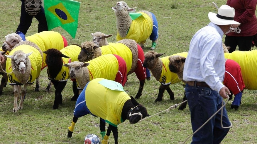 Shepherds herd their sheep, dressed in jerseys of Brazil's and Colombia's soccer team colors, during a sheep soccer match in Nobsa, Colombia, Sunday, June 1, 2014. The match was part of the International Poncho Day, celebrated every year in this region of central Colombian where local craftsmen make sheep wool ponchos using ancestral techniques. (AP Photo/Javier Galeano)