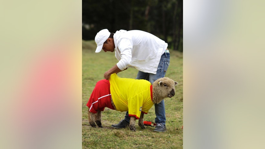 A shepherd dresses one of his sheep in a Colombia national soccer team jersey before a Colombia vs. Brazil soccer sheep match in Nobsa, Colombia, Sunday, June 1, 2014. The match was part of the International Poncho Day, celebrated every year in this region of central Colombian where local craftsmen make sheep wool ponchos using ancestral techniques. (AP Photo/Javier Galeano)
