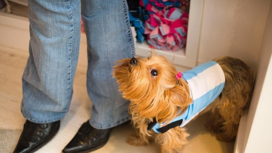A dog wearing a garment resembling the jersey of Argentina's national soccer squad looks up at her owner inside a pet store in Buenos Aires, Argentina, Thursday, June 5, 2014. The pet store put on sale a number of garments with the colors of the Argentine flag ahead of the World Cup that starts next week in Brazil. (AP Photo/Victor R. Caivano)