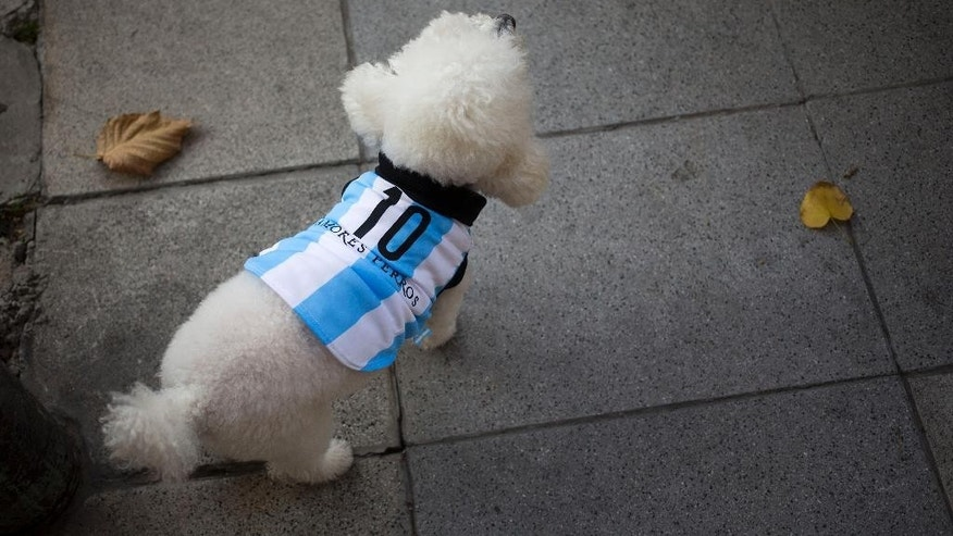 A dog wearing a garment resembling the jersey of Argentina's soccer team, with the number 10, walks on the sidewalk during a promotional event at a pet store ahead of the World Cup in Buenos Aires, Argentina, Thursday, June 5, 2014. Brazil is hosting the international soccer tournament starting next week, at which Argentina's player Lionel Messi will wear number 10. (AP Photo/Victor R. Caivano)