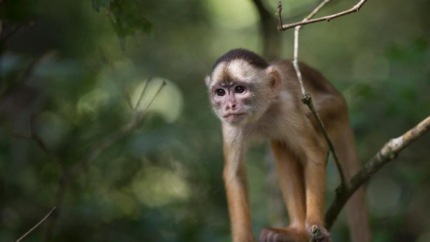 "In this May 20, 2014 photo, a small monkey stands in a tree in the Lago do Janauari, or Solimoes River, near Manaus, Brazil. Star animal attractions in the area include a heart-melting array of monkeys, flesh-eating piranhas, and the ""boto,"" a pink fresh water dolphin that's trained to swim with tourists or chopped up by locals into bait for the ""piracatinga,"" or ""vulture catfish."" (AP Photo/Felipe Dana)"