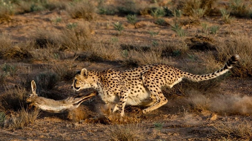 In this Monday, May 26, 2014 photo, 7-year-old male Asiatic Cheetah, named 'Koushki,' hunts a rabbit after its been released by rangers at the Miandasht Wildlife Refuge in Jajarm, northeastern Iran. Iran is conducting a campaign to rescue the Asiatic Cheetah which has disappeared across south and central asia except fewer than 100 remaining in Iran. (AP Photo/Vahid Salemi)