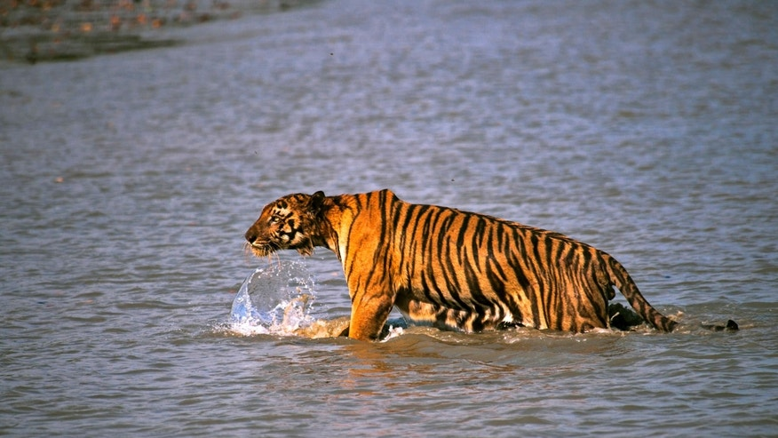 April 26, 2014 - Royal Bengal tiger prowls in Sunderbans, at the Sunderban delta, about 80 miles south of Calcutta, India. An Indian fisherman says a tiger has snatched a man off a fishing boat and dragged him away into a mangrove swamp.