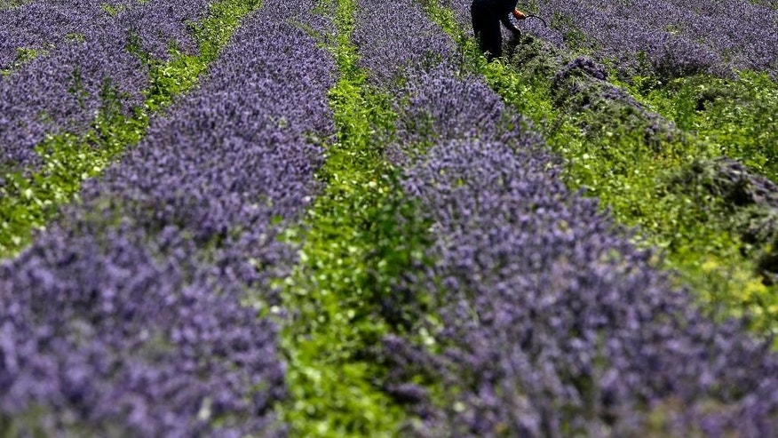"In this July 6, 2014 photo, a man gathers lavender flowers during harvest season near village of Tarnichane in Bulgaria's ""Rose valley"", some 200 km (125 miles) east of the capital Sofia. In recent years Bulgarian production of lavender oil has increased meaning the country is now the largest producer in the world - even ahead of France. (AP Photo/Valentina Petrova)"