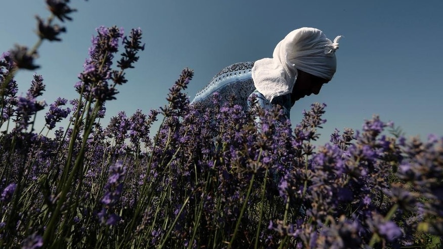 "In this July 6, 2014 photo, a worker reaps lavender flowers during harvest season near village of Tarnichane in Bulgaria's ""Rose valley"", some 200 km (125 miles) east of the capital Sofia. In recent years Bulgarian production of lavender oil has increased meaning the country is now the largest producer in the world - even ahead of France. (AP Photo/Valentina Petrova)"