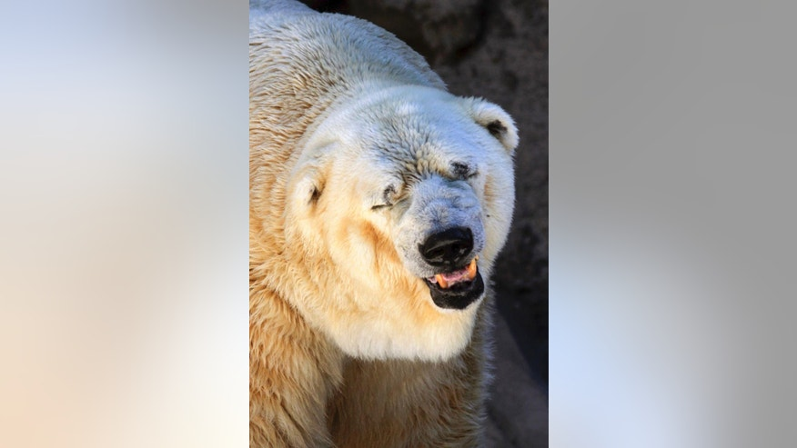 "In this March 20, 2014 photo released by Greenpeace, Arturo, a 28-year-old polar bear, stands inside his cage at the zoo in Mendoza, Argentina. Despite a petition by hundreds of thousands of people asking for Arturo's relocation to a zoo in Winnipeg that has accepted the polar bear's transfer, the Mendoza Zoo Director said Tuesday, July 22, 2014, that Arturo, will remain in Argentina. The country's last remaining polar bear in captivity, only suffers the typical ailments of old age said the director and asks Arturo supporters to ""stop bothering the bear,"" saying it would be risky to move him due to his advanced age. (AP Photo/Greenpeace, Delfo Rodriguez)"