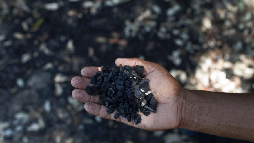 In this July 2, 2014, photo, government forest scientist Reynier Samon, shows mangrove charcoal residues in Batabano, Cuba. Mangroves historically have been harvested for everything from textile dyes and tannins used in the pharmaceutical industry, to lumber for furniture and charcoal that rural Cubans rely on to fire their kitchens. (AP Photo/Franklin Reyes)