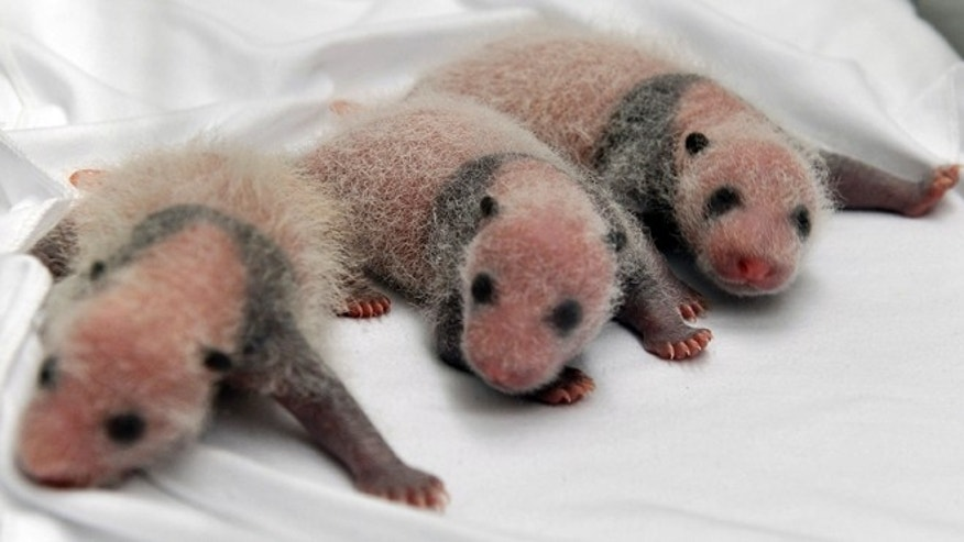 Aug. 12, 2014: Triplet panda cubs rest in an incubator at the Chimelong Safari Park in Guangzhou in south China's Guangdong province. China announced Tuesday the birth of extremely rare panda triplets in a further success for the country's artificial breeding program. The three cubs were born July 29 in the southern city of Guangzhou, but breeders delayed an announcement until they were sure all three would survive, the official China News Service said.