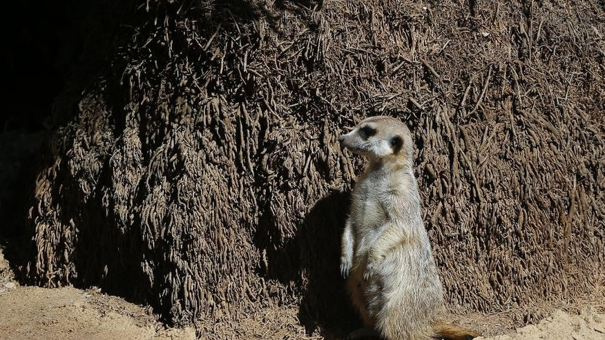 Meerkat Manor stands next to a tree trunk in an enclosure at the Pretoria Zoo, South Africa, Wednesday, Aug. 13, 2014. One of the most captivating sights of African wildlife is that of sharp-eyed meerkats standing side-by-side on their hindlegs, as though posing for a group photograph. (AP Photo/Themba Hadebe )
