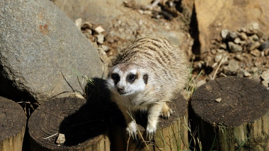 Meerkat Manor in an enclosure at the Pretoria Zoo, South Africa, Wednesday, Aug. 13, 2014. One of the most captivating sights of African wildlife is that of sharp-eyed meerkats standing side-by-side on their hindlegs, as though posing for a group photograph. (AP Photo/Themba Hadebe )