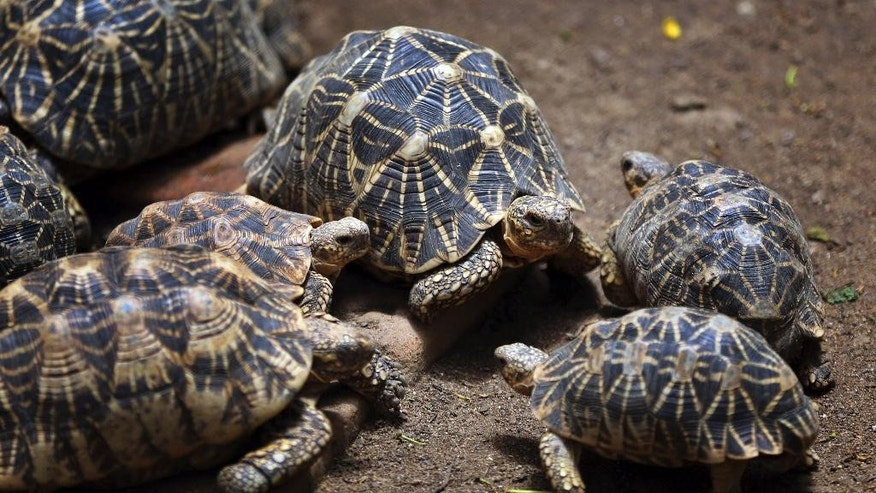 In this July 9, 2014 photo, Indian star tortoise huddle together at the Bannerghatta National Park on the outskirts of Bangalore, India. Wildlife activists in India have raised an alarm that scores of lesser known animal species are being pushed to the brink of extinction because of rampant poaching and trafficking, while conservation efforts over the past two decades were focused on saving India's iconic tigers and rhinos.  Tens of thousands of lesser-known animals, such as pangolins, tortoises and geckos, have been killed or smuggled out of India to supply a growing demand for the skin, parts or flesh of these animals, or sold to people wanting to keep them as exotic pets. (AP Photo/Aijaz Rahi)