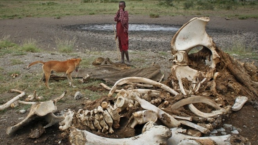 Feb. 13, 2013: In this file photo, a Maasai boy and his dog stand near the skeleton of an elephant killed by poachers outside of Arusha, Tanzania.  A new study released Monday Aug. 18, 2014, by lead author George Wittemye of Colorado State University, found that the proportion of illegally killed elephants has climbed to about 65 percent of all African elephant deaths, accounting for around 100,000 elephants killed by poachers between 2010 and 2012.