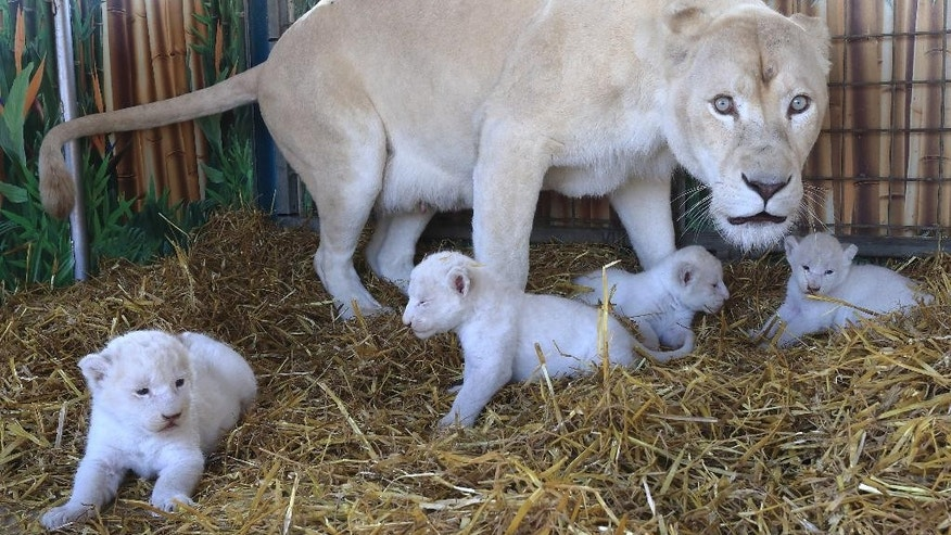 The Aug. 21, 2014 photo shows four white lion cubs with their mother 'Princess' at the Circus Krone in Magdeburg, eastern Germany. (AP Photo/dpa, Jens Wolf)