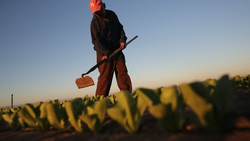 HOLTVILLE, CA - OCTOBER 08:  A Mexican agricultural worker cultivates lettuce on a farm on October 8, 2013 in Holtville, California. Thousands of Mexican workers cross the border legally each night from Mexicali, Mexico into Calexico, CA, where they pick up work as agricultural day laborers in California's fertile Imperial Valley. Although the Imperial Valley, irrigated from water diverted from the Colorado River, is one of the most productive agricultural areas in the United States, it has one of the highest unemployment rates in California, at more than 25 percent. Mexican farm workers commute each day from Mexicali to work in the fields for about $9 an hour, which many local U.S. residents shun as too low pay.  (Photo by John Moore/Getty Images)