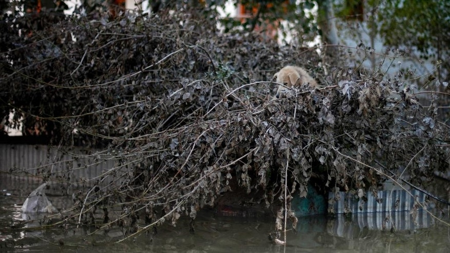 A dog is stranded on a tree in an inundated neighborhood of Srinagar, Indian-controlled Kashmir, Monday, Sept. 15, 2014. Flooding from days of heavy monsoon rains partially submerged Srinagar and left more than 400 people dead in northern Pakistan and India. The flood waters have begun to recede, but vast fields of crops have been destroyed and tens of thousands of families have lost all their possessions. (AP Photo/ Altaf Qadri)