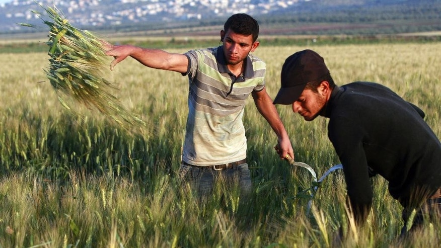 File - In this Thursday, April 24, 2014. file photo, Palestinian farmers harvest  wheat on a farm near the West Bank city of Jenin. The Palestinian economy is expected to contract for the first time in seven years in 2014, shrinking by 4 percent, the result of the recent Gaza war, continued Israeli and Egyptian restrictions on Palestinian trade and a drop in foreign aid, the World Bank said Tuesday. The bank issued the report ahead of a meeting next week of donor nations to the Palestinians on the sidelines of the U.N. General Assembly. (AP Photo/Mohammed Ballas, File)
