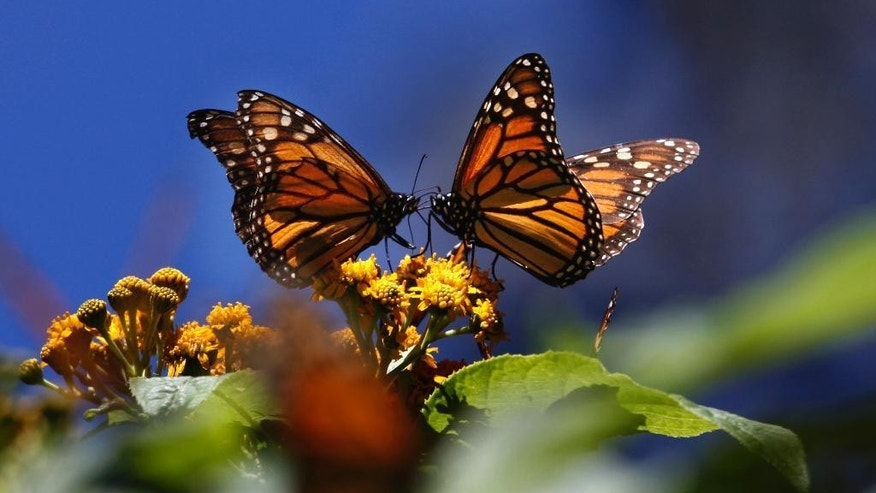 "FILE - In this Feb. 26, 2009 file photo, monarch butterflies gather on top of flowers at the Monarch Butterfly Biosphere Reserve, near the town of Chincua, Mexico. The head of Mexico's nature reserves, Luis Fueyo, said Tuesday, Sept. 23, 2014, the first butterflies have been seen entering Mexico earlier than usual this year. He said it is too early to say whether butterfly numbers will rebound this year from a series of sharp drops, but ""this premature presence could be the prelude to an increase in the migration."" (AP Photo/Marco Ugarte, File)"