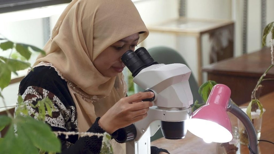 A student at Bogor Agricultural University peers through a microscope at pest pink cassava mealybugs in her laboratory in Bogor, West Java, Indonesia, Wednesday, Sept. 24, 2914. They are the size of a pinhead and don't even pack a sting, but these tiny wasps are cold-blooded killers nonetheless. They work as nature's SWAT team, neutralizing a pest that threatens to destroy one of the developing world's most important staple foods: cassava. The wasps are being released in Indonesia, the latest country threatened by the mealybug. It's a white fuzzy-looking insect shaped like a pill that's been making its way across Southeast Asia's fields for the past six years. Scientists will put 2,000 wasps into a holding cage at an affected field in Bogor. They will be monitored to see how well they handle local conditions as they multiply to an expected 300,000 over the next month before being released into the wild to start their relentless killing spree. (AP Photo/Tatan syuflana)