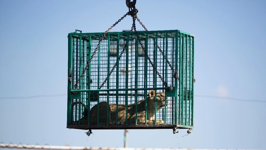 A Palestinian worker loads a metal cage with a lion inside onto a truck at the Al-Bisan zoo, as a team prepares a transfer for three lions to Israel en route to a better life at a wildlife sanctuary in Jordan after their zoo was damaged in the recent Israel-Hamas war, in Beit Lahiya in the northern Gaza Strip,  Tuesday, Sept. 30, 2014. Three lions, a pair of males and a pregnant female, were sedated before the big cats were placed in metal cages and loaded onto a truck that transferred them through the Erez border crossing into Israel. Amir Khalil of the Four Paws International welfare group said the zoo's animals were in urgent need of care after the 50-day war. He said the zoo was badly damaged and more than 80 animals died as a result of the fighting. (AP Photo/Khalil Hamra)