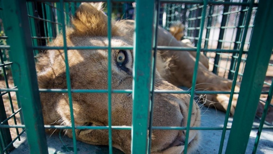 A lion lays inside a metal cage at Al-Bisan zoo, as a medical team prepares to transfer three big cats to Israel en route to a better life at a wildlife sanctuary in Jordan after their zoo was damaged in the recent Israel-Hamas war, in Beit Lahiya in the northern Gaza Strip,  Tuesday, Sept. 30, 2014. Three lions, a pair of males and a pregnant female, were sedated before the big cats were placed in metal cages and loaded onto a truck that transferred them through the Erez border crossing into Israel. Amir Khalil of the Four Paws International welfare group said the zoo's animals were in urgent need of care after the 50-day war. He said the zoo was badly damaged and more than 80 animals died as a result of the fighting. (AP Photo/Khalil Hamra)