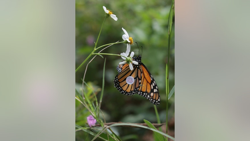 A newly tagged Monarch butterfly enjoys its first taste of wildflowers at the Conservation Park on Saturday, Sept. 27, 2014, in Panama City Beach, Fla. Monarchs were tagged and released from the park Saturday to track their movements as they migrate south. (AP Photo/The News Herald, Heather Leiphart)