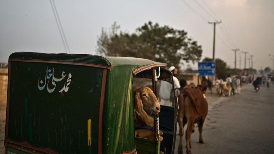 """A sheep looks out of a rickshaw after it was bought by a Pakistani man for the Muslim holiday of Eid al-Adha, or """"Feast of Sacrifice"""" in Pakistan, near  Islamabad, Saturday, Oct. 4, 2014. Muslims around the world celebrated Saturday to commemorate the willingness of the prophet Ibrahim - or Abraham as he is known in the Bible - to sacrifice his son in accordance with God's will, though in the end God provides him a sheep to sacrifice instead. Muslims slaughter sheep, cattle, and other livestock, and give part of the meat to the poor.(AP Photo/Muhammed Muheisen)"""