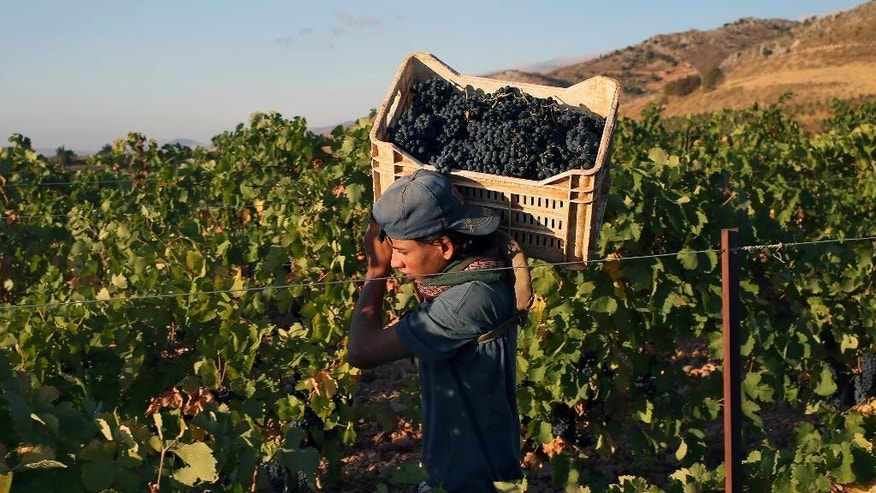 In this Sept. 8, 2014, photo, a Syrian refugee man carries a box of syrah grapes being picked in a vineyard of the Chateau Kefraya winery in Bekaa valley, east Lebanon. In Syria and Lebanon, boutique wineries mainly run by Christians have endured despite decades of unrest and the fact that Islam, the majority faith in the region, forbids both the production and consumption of alcohol. (AP Photo/Hussein Malla)