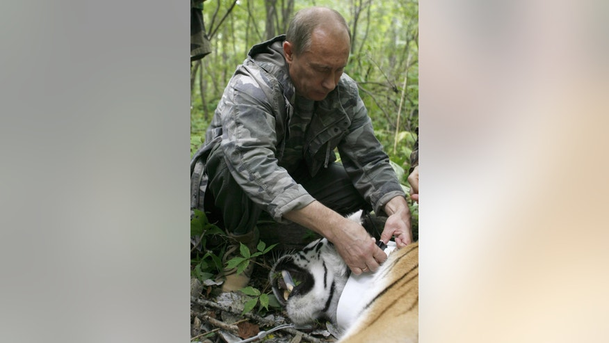 FILE - In this Aug. 31, 2008 file photo, then Russian Prime Minister Vladimir Putin locks a collar with a satellite tracker on a tranquilized five-year-old Siberian tiger in a Russian Academy of Sciences reserve in Russia's Far East. A rare Siberian tiger released into the wild by Russian President Putin has strayed into China and may be in danger, state media said Thursday, Oct. 9, 2014. The president was photographed in May releasing the 19-month-old cub, named Kuzya, and two other Siberian tigers in a remote part of the Amur region. (AP Photo/Alexei Druzhinin, Pool, File)