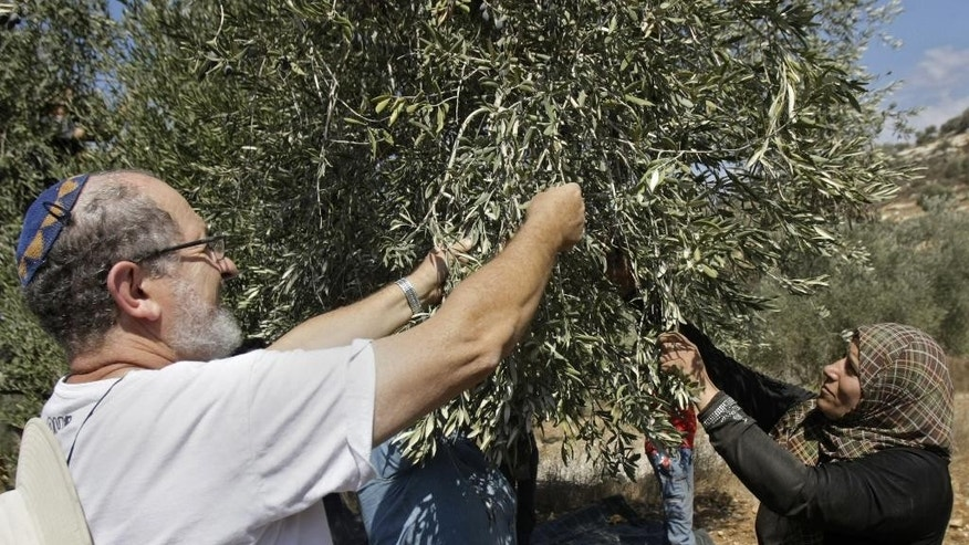 "Activist Rabbi Yehiel Grenimann and others from Rabbis For Human Rights join members of the Palestinian Awwad family picking olives in the West Bank village of Awarta, near Nablus, Monday Oct. 13, 2014. According to its website, RHR has worked in the past 10 years with some 50 West Bank villages during the annual olive harvest to help ""ensure the rights of thousands of farmers to plant, harvest and prune their olive trees"" in areas said to be at risk for attacks by Israeli settlers. (AP Photo/Nasser Ishtayeh)"