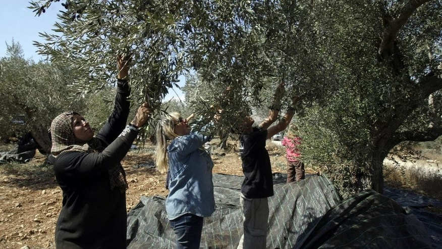 "Israeli activists from Rabbis For Human Rights and members of the Palestinian Awwad family pick olives in the West Bank village of Awarta, near Nablus, Monday Oct. 13, 2014. According to its website, RHR has worked in the past 10 years with some 50 West Bank villages during the annual olive harvest to help ""ensure the rights of thousands of farmers to plant, harvest and prune their olive trees"" in areas said to be at risk for attacks by Israeli settlers. (AP Photo/Nasser Ishtayeh)"