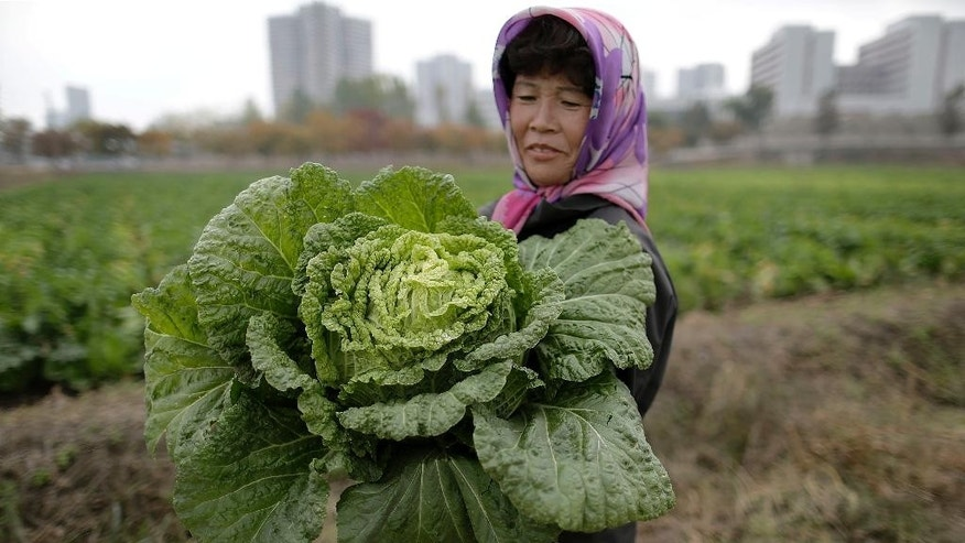 A farmer carries a fully grown cabbage after plucking it out from the main crop which will be harvested early next month, and used to make Kimchi, Friday, Oct. 24, 2014 at the Chilgol vegetable farm on the outskirts of Pyongyang, North Korea. It looks like the residents of Pyongyang won't be lacking for cabbage and vegetables come next month, when the crops will be harvested. Providing enough food to feed the nation is always a struggle for North Korea, which suffered a near cataclysmic famine in the 1990s but has since managed to increase its agricultural production to what international organizations believe is closer to the self-sufficiency level than the country has seen in years. (AP Photo/Wong Maye-E)