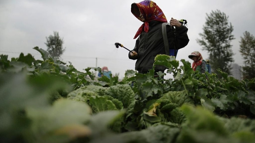 Farmers spray fertilizer on cabbage crops which will be harvested early next month and used mainly to make Kimchi at the Chilgol vegetable farm on the outskirts of Pyongyang, North Korea, Friday, Oct. 24, 2014. It looks like the residents of Pyongyang won't be lacking for cabbage and vegetables come next month, when the crops will be harvested. Providing enough food to feed the nation is always a struggle for North Korea, which suffered a near cataclysmic famine in the 1990s but has since managed to increase its agricultural production to what international organizations believe is closer to the self-sufficiency level than the country has seen in years. (AP Photo/Wong Maye-E)