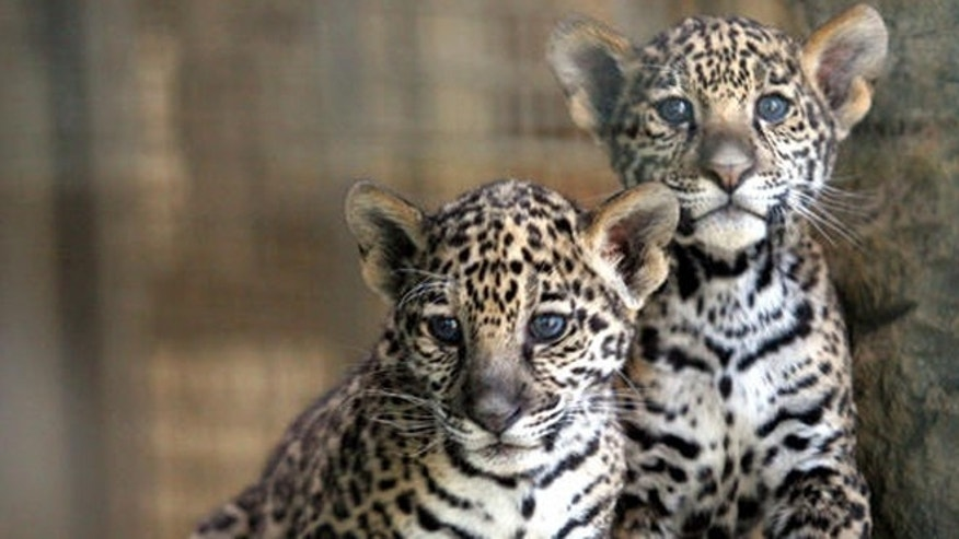 Two 9-week-old jaguar cubs look out from their exhibit at the Stone Zoo in Stoneham, Mass., Thursday, May 25, 2006.   (AP Photo/Mary Schwalm)