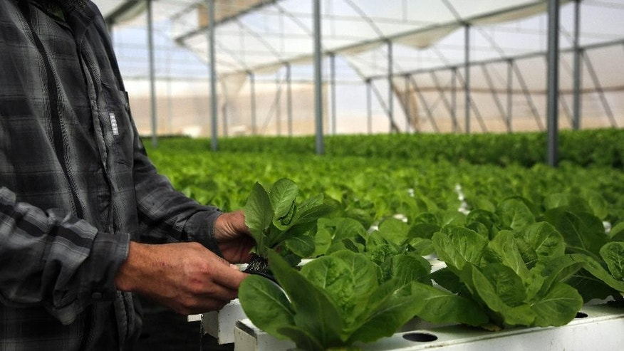 In this Sunday, Oct. 19, 2014 photo,  Gilad Fine, a religious Jewish farmer from Bnei Netzarim works inside his greenhouse, between the southern tip of the Gaza Strip and the Egyptian border. Fine grows lettuce and kale using hydroponics on raised platforms to fulfill the biblical commandment to let his farmlands rest every seventh year but perhaps the biblical rules don't fully apply to him. According to religious tradition, it's an area that was not under Jewish control 2,000 years ago during the time of the second Jewish Temple in Jerusalem - partially exempting it from the biblical law. (AP Photo/Tsafrir Abayov)