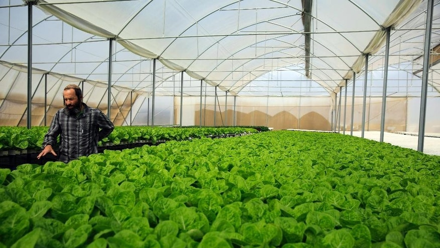 In this Sunday, Oct. 19, 2014 photo,  Gilad Fine, a Jewish religious farmer from  Bnei Netzarim, near the Israel border with Egypt, stands inside his greenhouse. Fine grows lettuce and kale using hydroponics on raised platforms to fulfill the biblical commandment to let his farmlands rest every seventh year. Out of some 6,700 Jewish farmers in Israel, only about 50 ignored the religious rules, while only about 100 abandoned their farms altogether this year in exchange for small government stipends, said Israeli agricultural and religious officials. (AP Photo/Tsafrir Abayov)