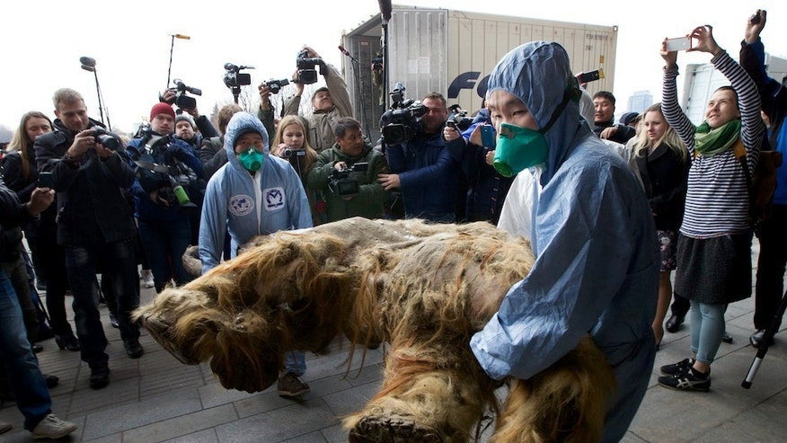 Russian Geographic Society staff members carry the body of baby mammoth to put on display in Moscow, Russia, Tuesday, Oct. 28, 2014. The 39,000-year-old baby mammoth is named Yuka, derived from the Yukagir coastline where she was found. Yuka was found four years ago in the Siberian permafrost and was between six and eleven years old when she died.  Scientists call Yuka the best preserved mammoth in the history of paleontology. (AP Photo/Ivan Sekretarev)