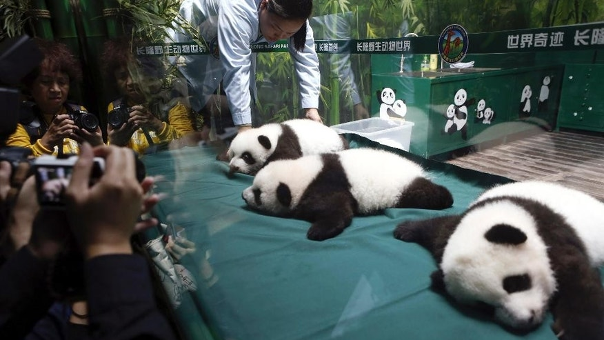 Visitors take photos of the panda triplet cubs in the Chimelong Safari Park in Guangzhou in south China's Guangdong province Wednesday, Nov. 5, 2014. Keepers responsible for looking after the world's only surviving set of giant panda triplets said the cubs were doing well, as they celebrated turning 100 days old on Wednesday. The triplets born at Chimelong are the fourth case of panda triplets ever recorded  (AP Photo) CHINA OUT