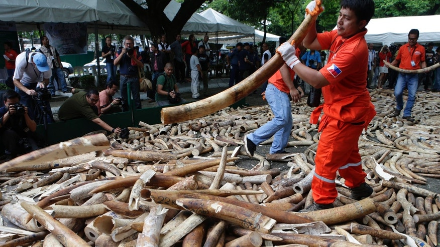 June 21, 2013: Workers prepare seized elephant tusks to be crushed by a backhoe during a destruction ceremony at the Protected Areas and Wildlife Bureau of the Department of Environment and Natural Resources