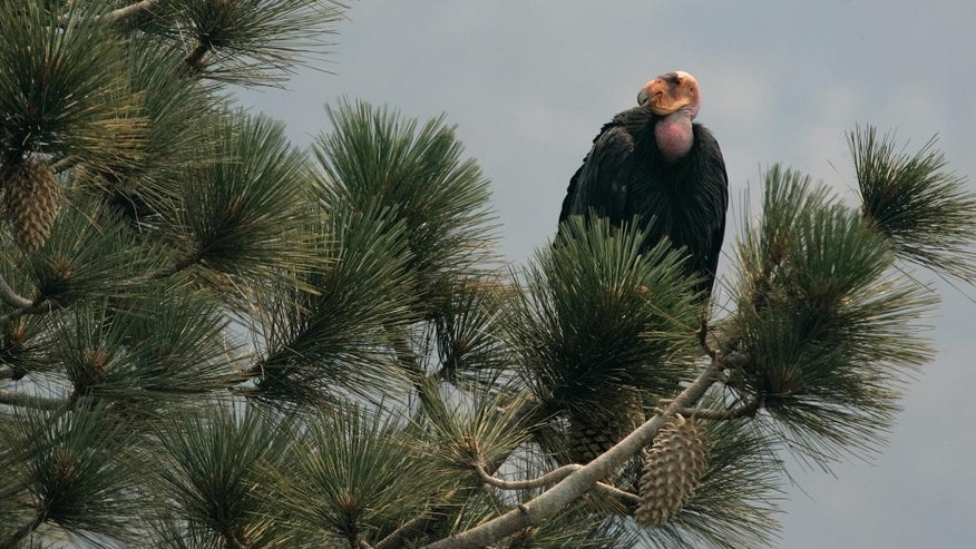 FILE - In this July 10, 2008, file photo, a California Condor is perched atop a pine tree in the Los Padres National Forest east of Big Sur, California. Two endangered female California condors have been transferred from the U.S. to Mexico City's Chapultepec Zoo, Nov. 10, 2014, for a new breeding-in-captivity program. A U.S. Embassy statement says the zoo will begin raising the birds for eventual release into the wild. The goal is for Mexico to take over all aspects of breeding and reintroduction in the country. (AP Photo/Marcio Jose Sanchez, File)