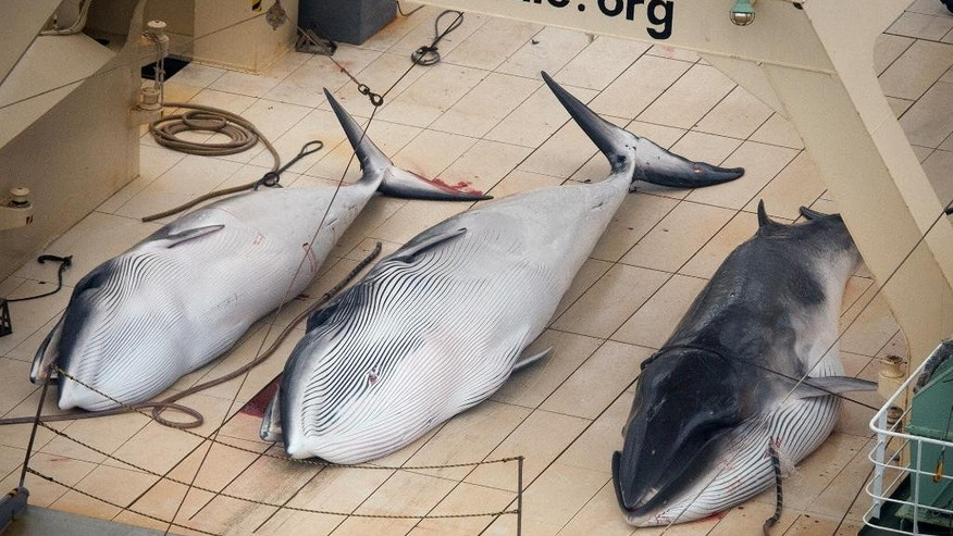 FILE - In this Jan. 5, 2014 file photo,  three dead minke whales lie on the deck of the Japanese whaling vessel Nisshin Maru in the Southern Ocean.  Japan has slashed its whale catch target in the Antarctic by two-thirds in a bid to resume its annual whale hunt that an international court ruled must stop. The Fisheries Agency said that in its revised program submitted Tuesday, Nov. 18, 2014,  to the International Whaling Commission, Japan seeks to catch 333 minke whales each year between 2015 and 2027, down from an earlier target of 935 minke and 50 fin whales.(AP Photo/Tim Watters, Sea Shepherd Australia, File) EDITORIAL USE ONLY, NO SALES