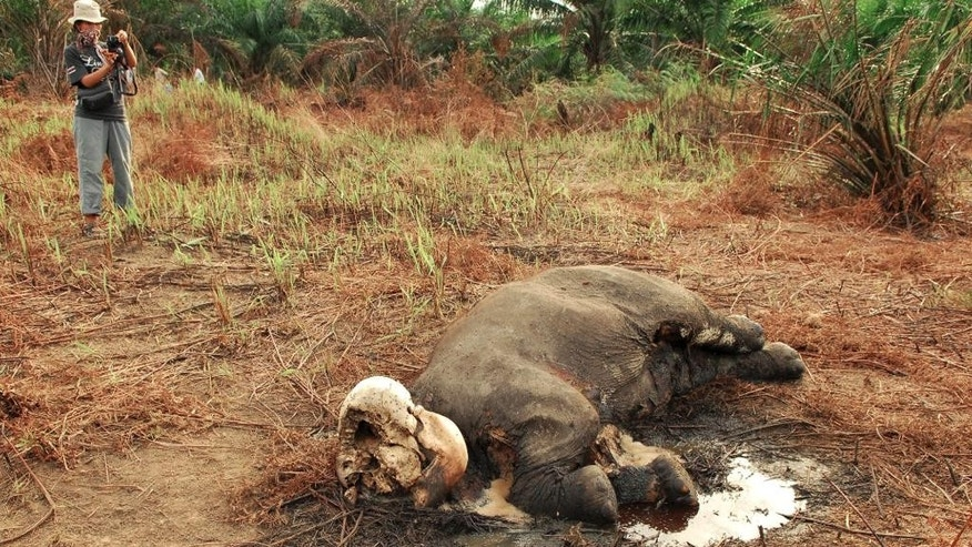 In this Tuesday, Nov. 18, 2014 photo, an activist inspects one of two dead Sumatran elephants allegedly snared and killed by poachers for their tusks, in Tebo district of Jambi province on Sumatra island, Indonesia. The head of the Indonesia Elephant Conservation Forum, Krismanko Padang, said carcasses the two male elephants were discovered early this week near a palm oil plantation. Their skulls were found without tusks, Krismanko said late Wednesday. He added that police who are investigating discovered some bullet shells near the scene. (AP Photo)
