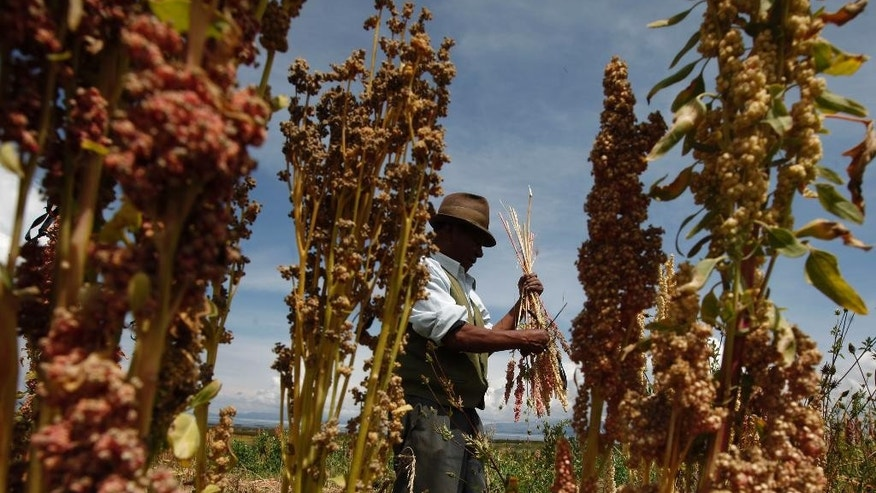 In this Feb. 14, 2014 photo, Bolivian farmer harvests organic quinoa in his fields in Puerto Perez, Bolivia. A commercial feud between Bolivian and Peruvian quinoa farmers pits traditional organic growers mostly in Bolivia's semi-arid highlands against modern Peruvian agribusinesses that include heavy pesticide users. Bolivia has been the top exporter, but Peru is about to overtake it, worrying Bolivians about their ability to compete. (AP Photo/Juan Karita)