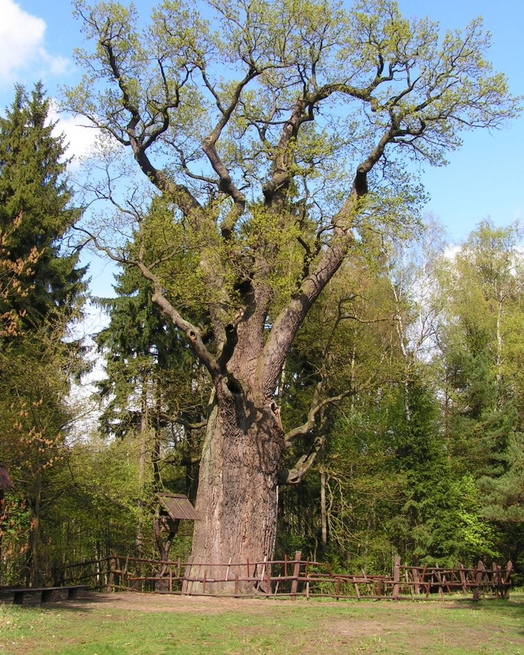 how to know how old is the tree using xylem